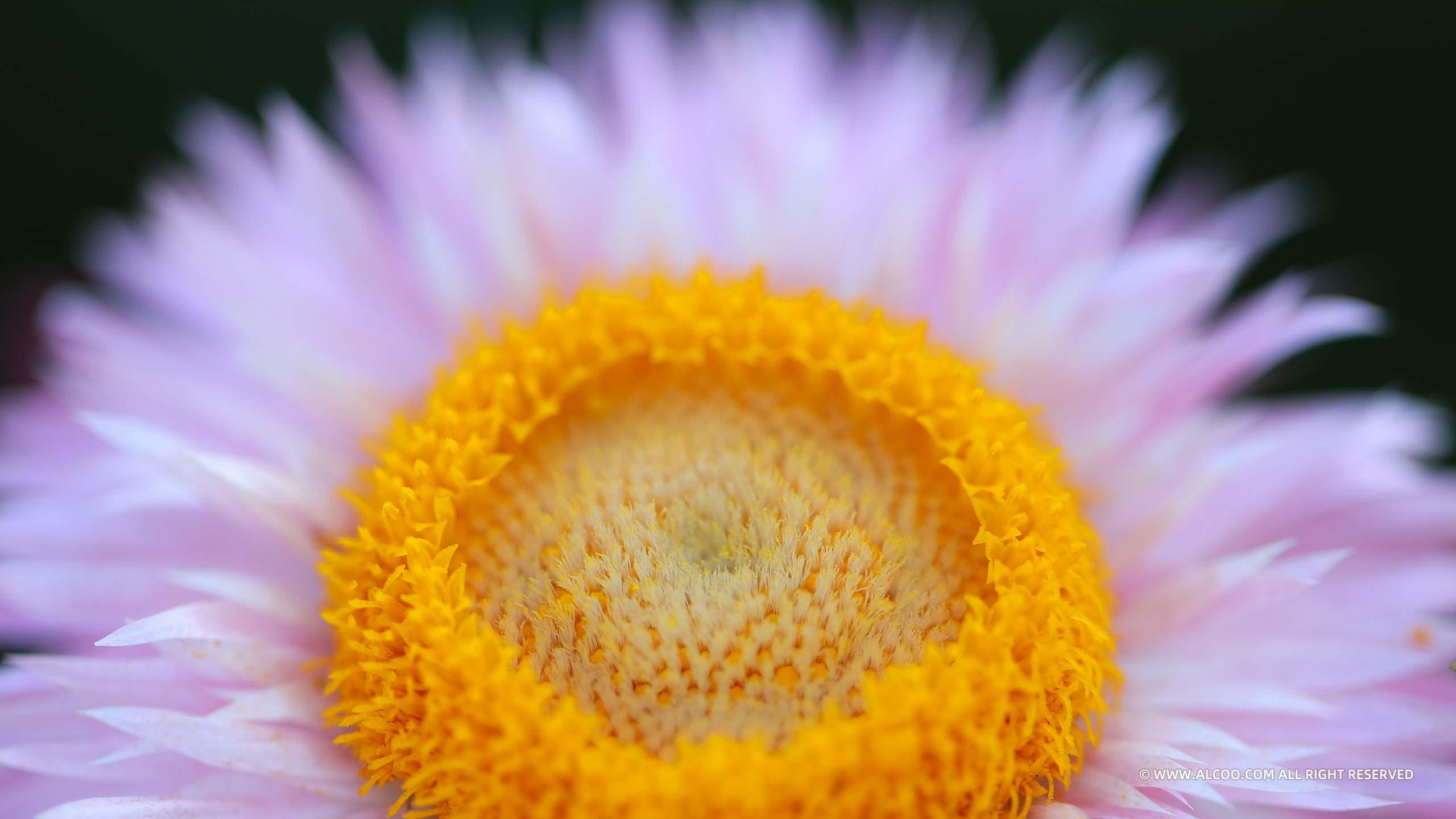 ALCOO;摄影;鲜花;甜蜜之花;alcoo.com;花心;蜜蜂;蝴蝶;蜂鸟蛾;菊花;昆虫;蝶恋花;采蜜;授粉;美图